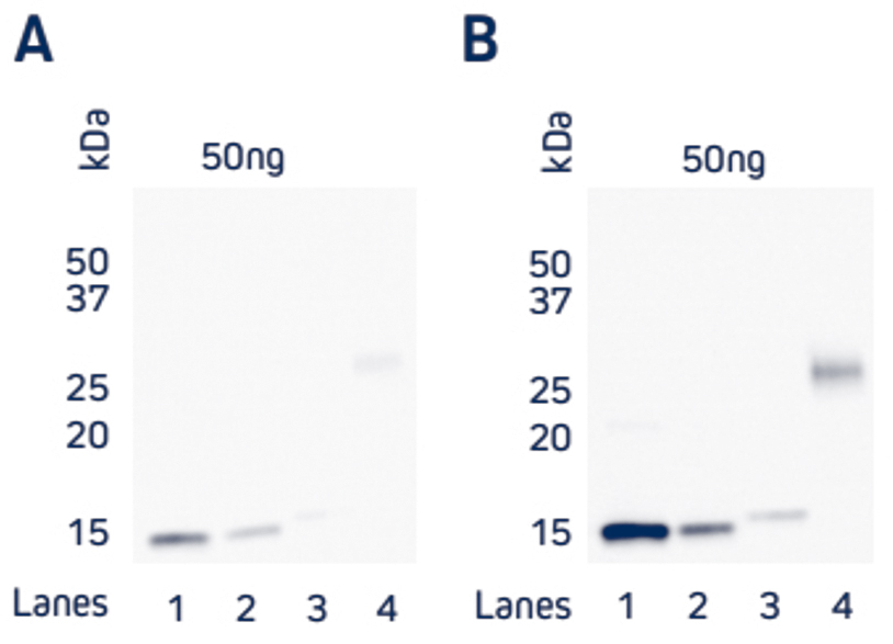 Comparison of direct and indirect Western blot detection of four recombinant His-Tagged proteins