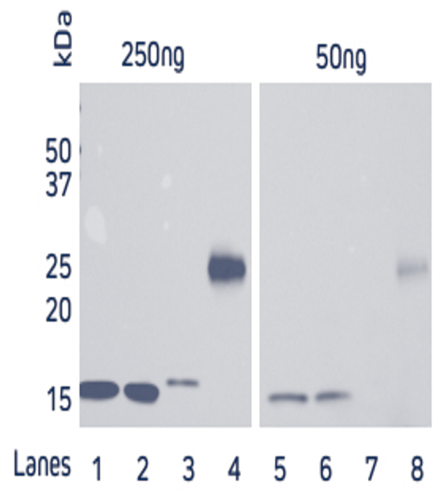 Direct Western blot showing the limit of detection for four recombinant His-Tagged proteins by HRP Rabbit Anti-His Tag antibody.