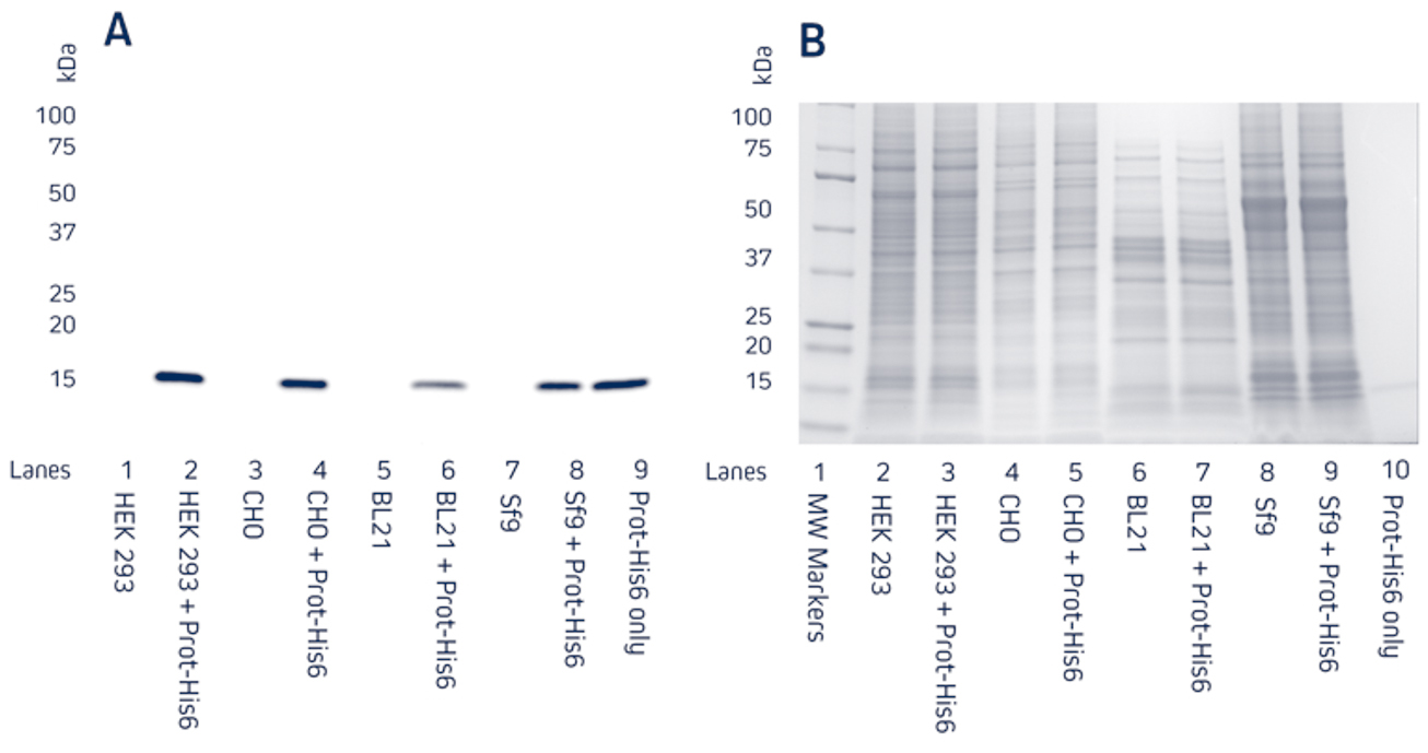 Detection of a recombinant His-Tagged protein